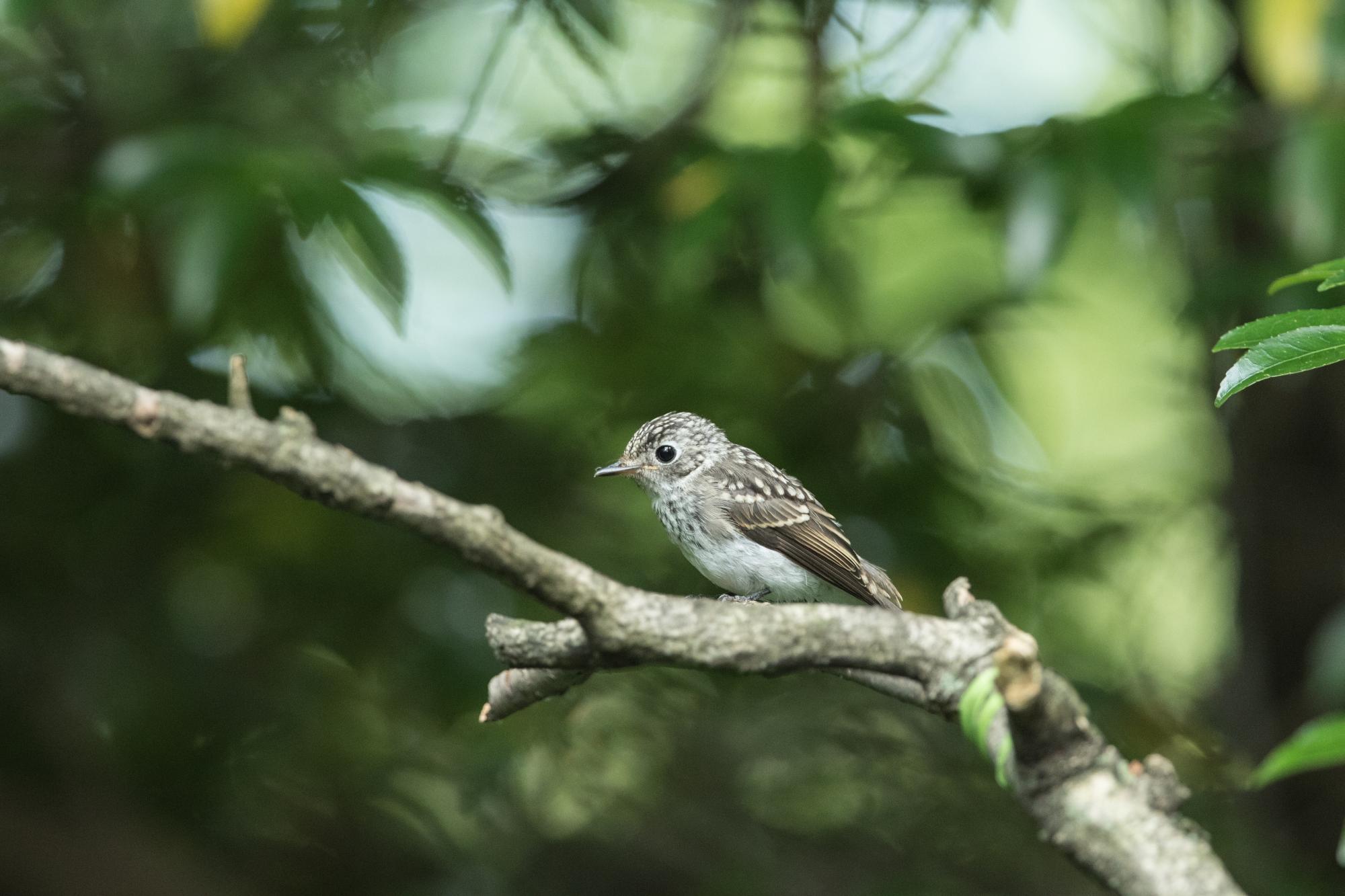 20170703-キビタキ幼鳥