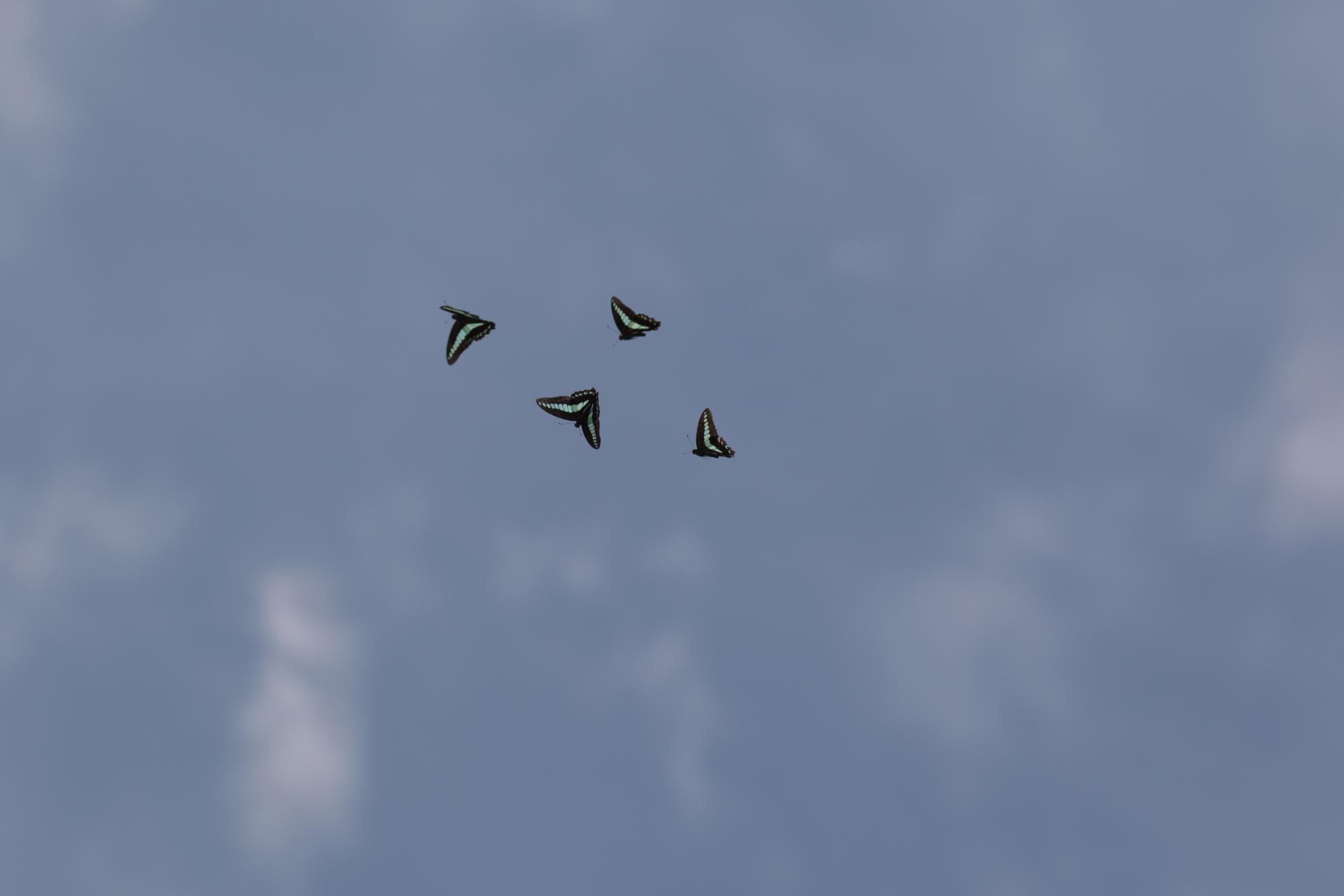 20170722-蝶々飛翔