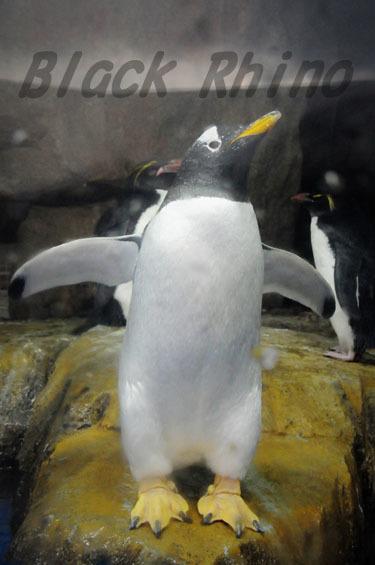 ジェンツーペンギン 仙台うみの杜水族館