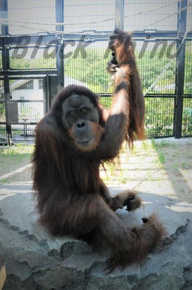 スマトラオランウータン ウータン1 豊橋総合動植物公園