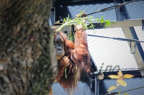 スマトラオランウータン ウラン1 豊橋総合動植物公園