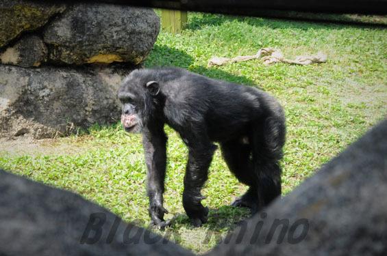 ニシチンパンジー ガイ1 豊橋総合動植物公園