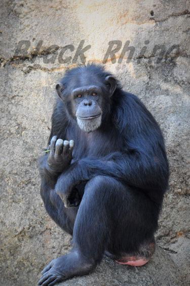 ニシチンパンジー? アンナ1 豊橋総合動植物公園