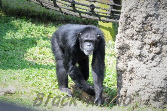 ニシチンパンジー? アンナ2 豊橋総合動植物公園