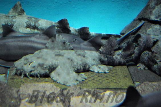 タッセルドウォビゴング1 大洗水族館