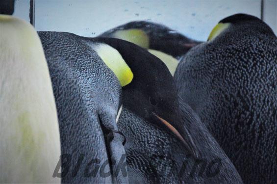 コウテイペンギン1 名古屋港水族館