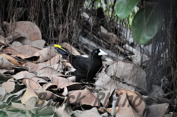 カンムリオオツリスドリ1 ネオパークオキナワ