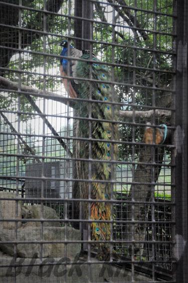 インドクジャク オス 鞍ヶ池公園動物園