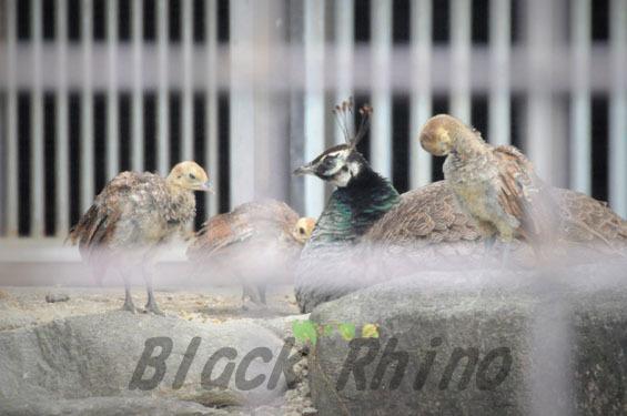 インドクジャク ヒナとメス 鞍ヶ池公園動物園