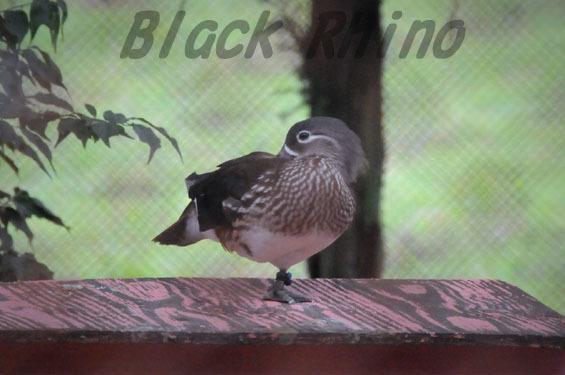 オシドリ メス 鞍ヶ池公園動物園