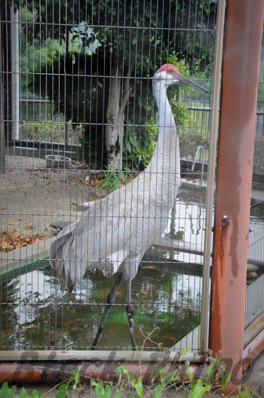 ミナミカナダヅル1 鞍ヶ池公園動物園