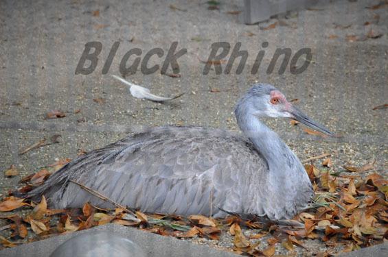 ミナミカナダヅル3 鞍ヶ池公園動物園
