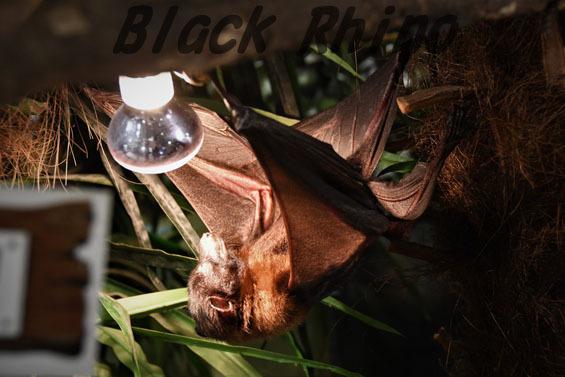 インドオオコウモリ めっちゃさわれる動物園