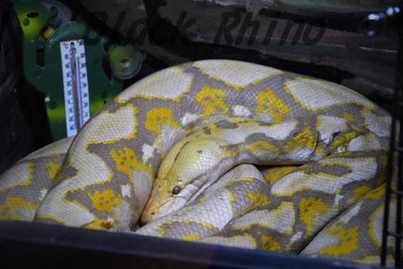アミメニシキヘビ パールアルビノ1 めっちゃさわれる動物園