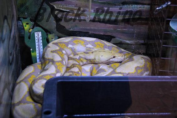 アミメニシキヘビ パールアルビノ2 めっちゃさわれる動物園