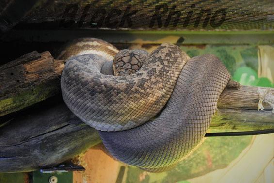 チモールパイソン めっちゃさわれる動物園