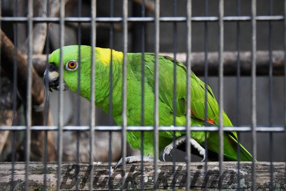 キエリボウシインコ1 王子動物園