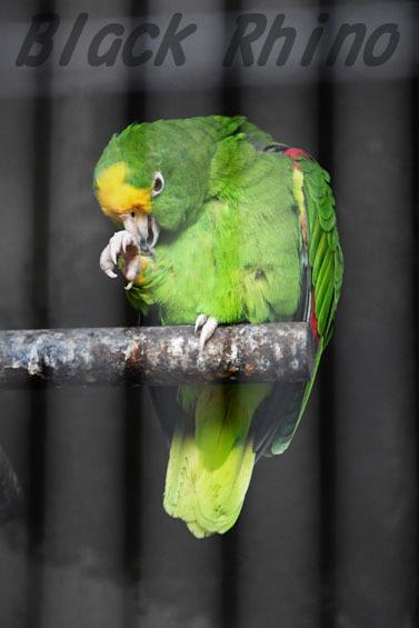 パナマボウシインコ1 王子動物園