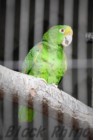 パナマボウシインコ2 王子動物園