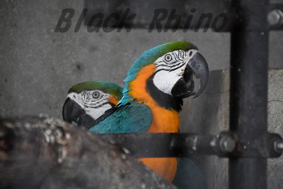 ルリコンゴウインコ リリ ルル 王子動物園
