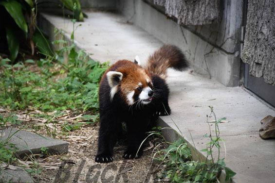 シセンレッサーパンダ ガイア 王子動物園