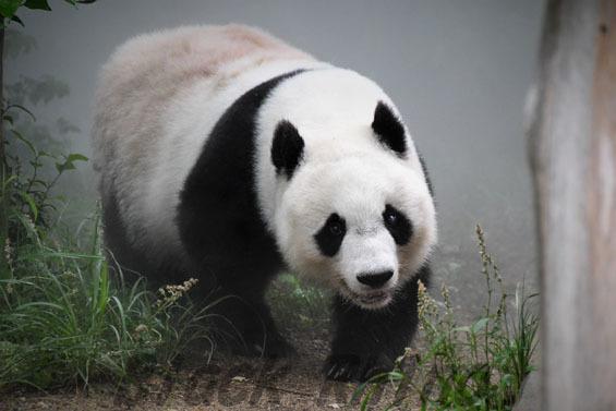 ジャイアントパンダ タンタン1 王子動物園