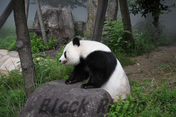 ジャイアントパンダ タンタン2 王子動物園
