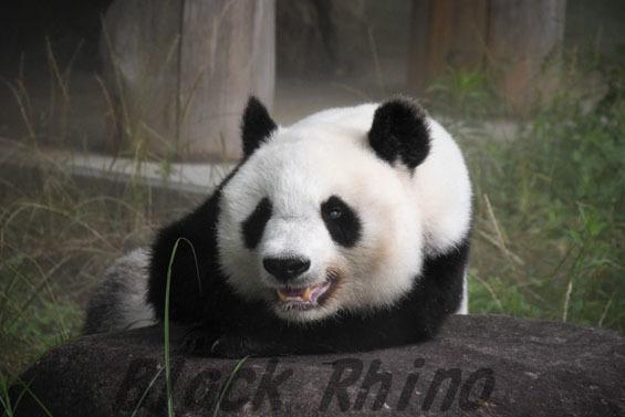 ジャイアントパンダ タンタン3 王子動物園