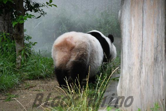 ジャイアントパンダ タンタン5 王子動物園