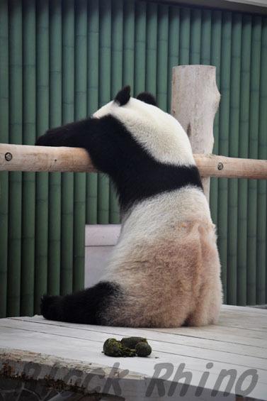 ジャイアントパンダ タンタン6 王子動物園