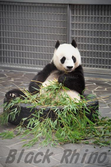 ジャイアントパンダ タンタン8 王子動物園