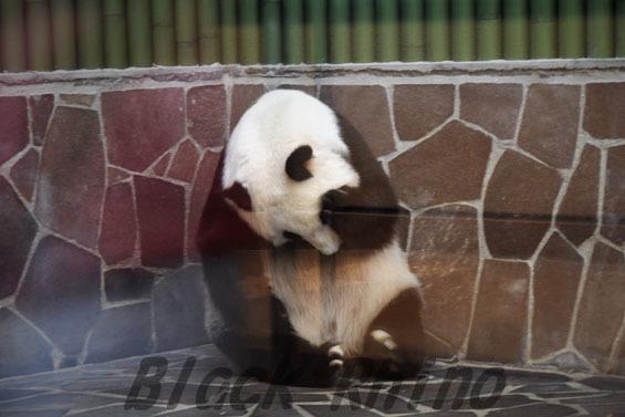 ジャイアントパンダ タンタン9 王子動物園