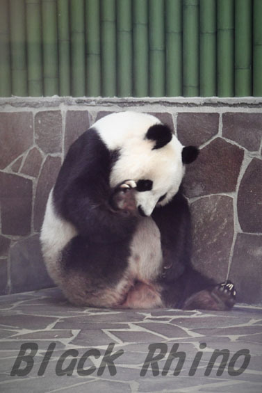 ジャイアントパンダ タンタン10 王子動物園
