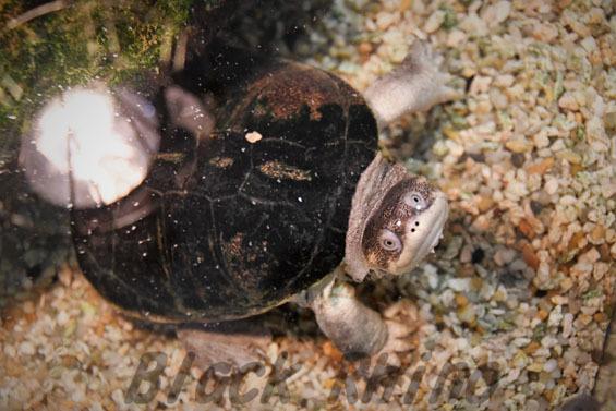 アダンソンハコヨコクビガメ1 めっちゃさわれる動物園