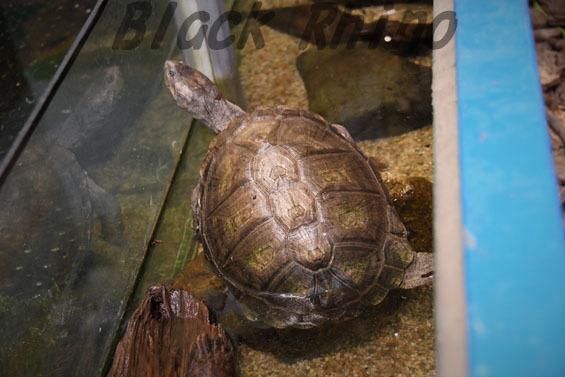 ノコヘリハコヨコクビガメ2 めっちゃさわれる動物園