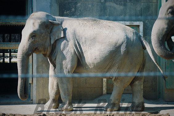 アジアゾウ シャンティ1 豊橋総合動植物公園