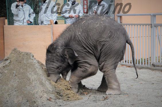 アジアゾウ マーラ2 豊橋総合動植物公園