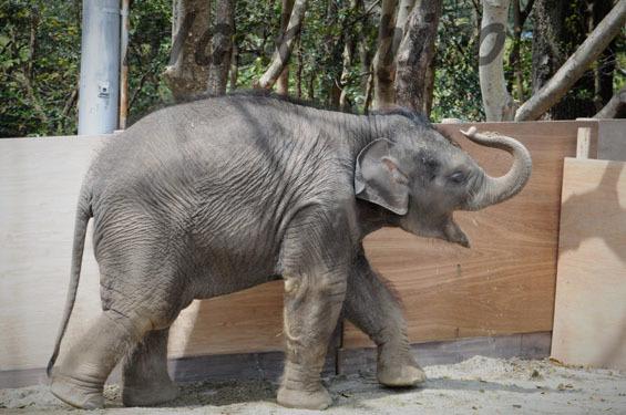 アジアゾウ マーラ6 豊橋総合動植物公園