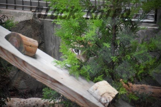 シベリアオオヤマネコ1 王子動物園