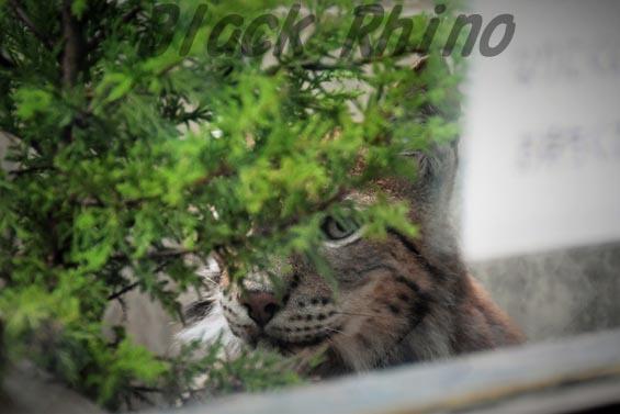シベリアオオヤマネコ2 王子動物園