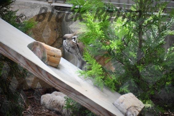 シベリアオオヤマネコ3 王子動物園