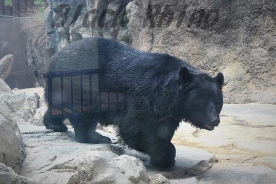 ニホンツキノワグマ 王子動物園