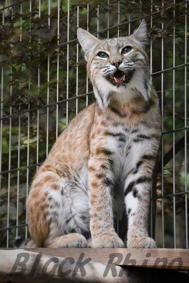 ボブキャット ソラ3 王子動物園