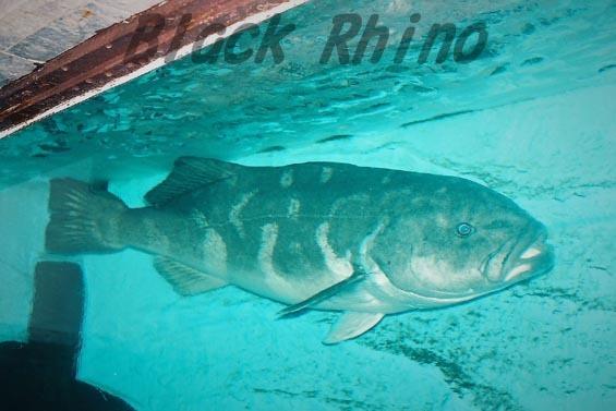 アブラボウズ1 市立室蘭水族館