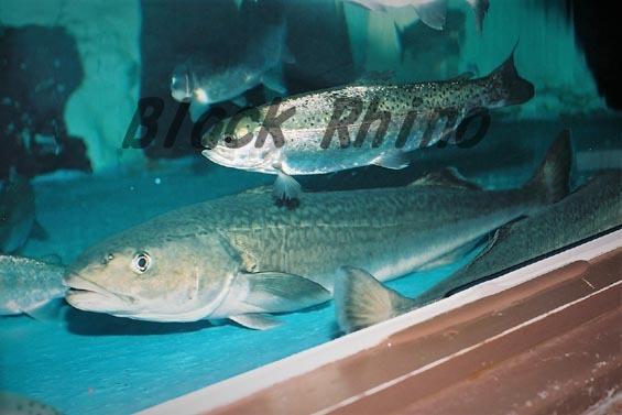 ギンダラ 市立室蘭水族館