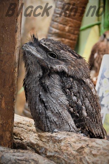 オーストラリアガマグチヨタカ めっちゃさわれる動物園