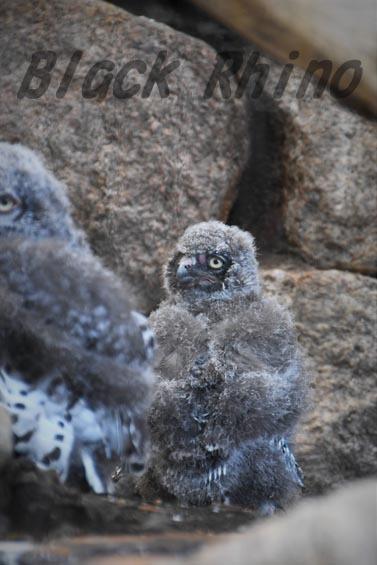 シロフクロウ ヒナ2 王子動物園
