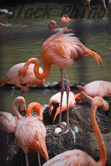 ベニイロフラミンゴ 王子動物園