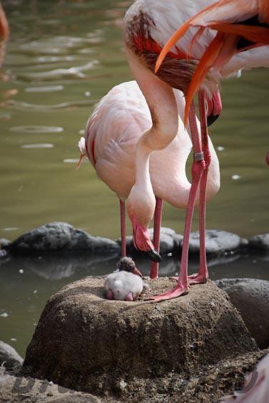 ヨーロッパフラミンゴ 王子動物園