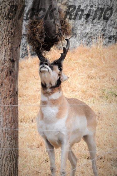 プロングホーン2 金沢動物園